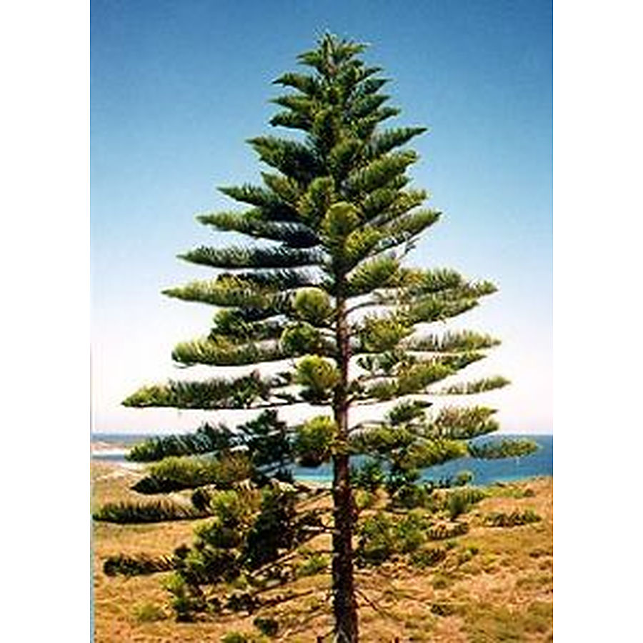 Norfolk island pine evergreen trees mature perth wa for Mature pine trees