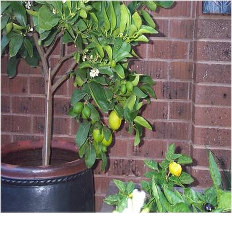 mature dwarf fruit trees