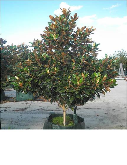 magnolialittlegem-1.jpg