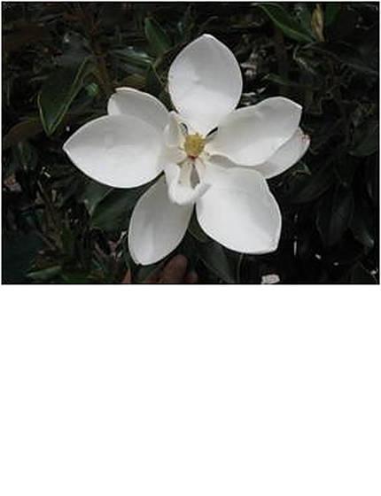 magnolialittlegem-2.jpg