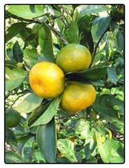 mandarincitrus-2.jpg