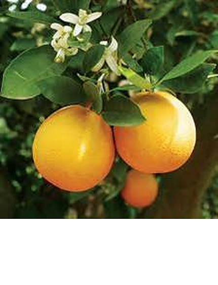 navelorangecitrus-2.jpg