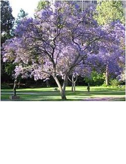 purplejacaranda-1.jpg