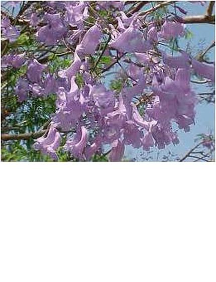 purplejacaranda-2.jpg