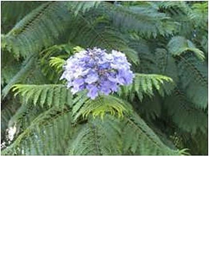 purplejacaranda-3.jpg