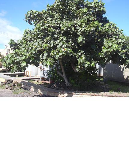 redleafedcottonwoodtree-1.jpg
