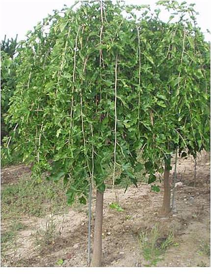 weepingmulberry-1.jpg