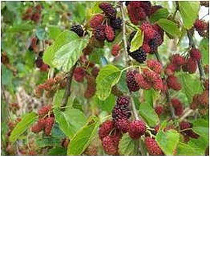weepingmulberry-2.jpg