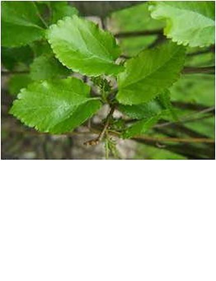 weepingmulberry-3.jpg