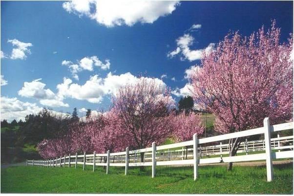 Flowering Plum - Nigra