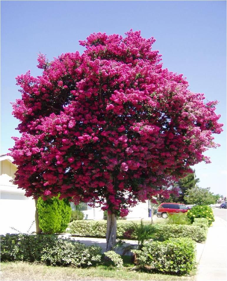 Small Crepe Myrtle Tree Varieties: Tree Nursery Western Australia