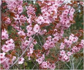 Flowering Plum - Blireana