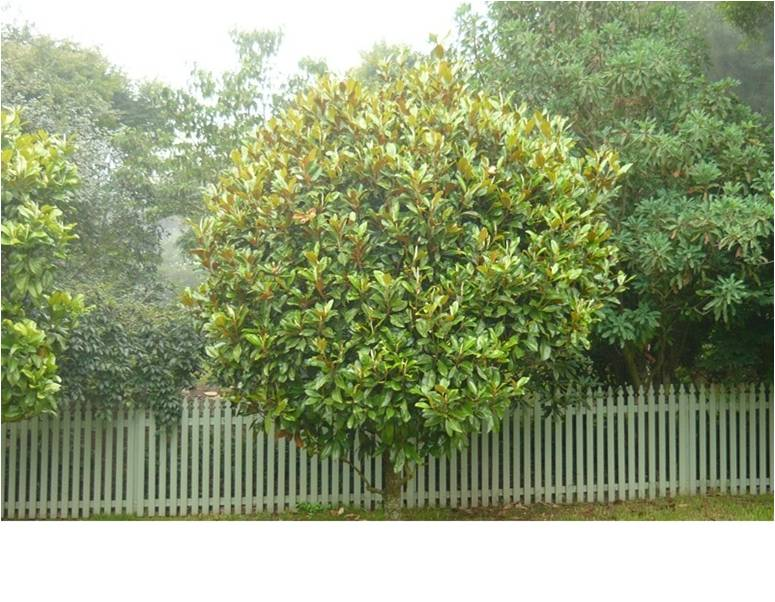 Small evergreen flowering trees australia beatiful tree for Small evergreen flowering trees