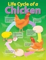 Life Cycle of a Chicken Educational Chart
