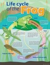 Life Cycle of a Frog Educational Chart