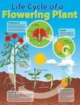 Life Cycle of a Plant Educational Chart
