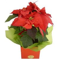 Potted Poinsettia colour may be hot pink, or light pink.